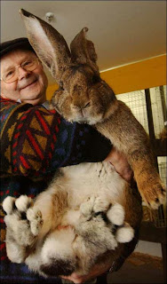 Herman the giant bunny. Looks like baby kangaroo kicking