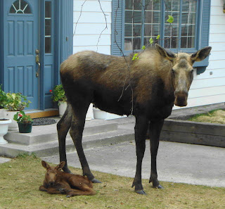 new born baby moose
