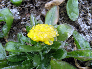 crystal of flower after ice rain