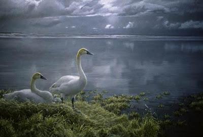Wide Horizon Tundra Swans