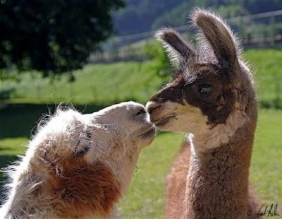 llama in love