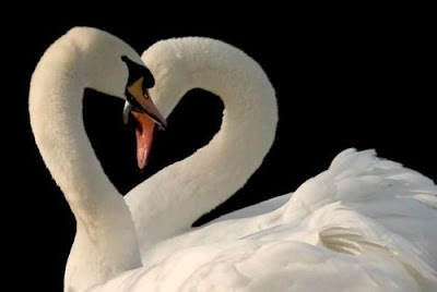 true love blossom in swans world