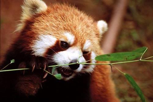 [red-panda-023.jpg]