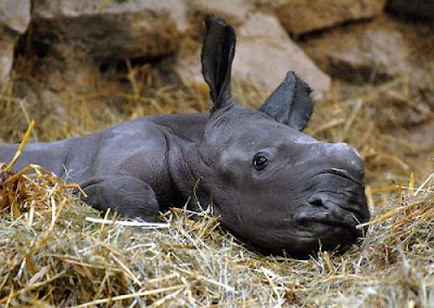 cute baby rhino, new born rhino