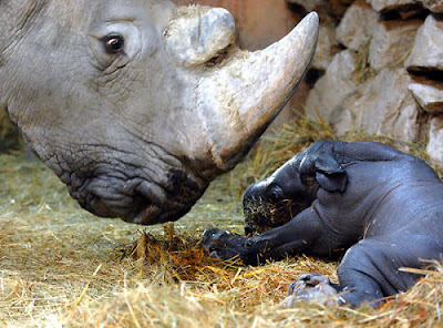 loving rhino mom with her cute new born baby