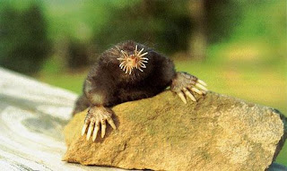scary star-nosed mole