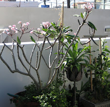 Frangipani rosa