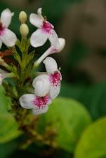 Pseuderantemun  reticulatum