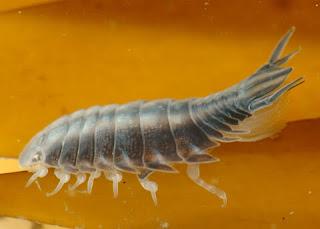parasitisopoda