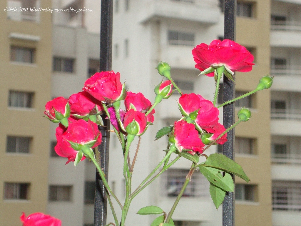 how to grow roses in singapore