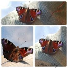 Den prektigkledde sommerfugl...