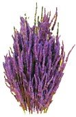 lavender Λεβάντα   Θεραπευτικές ιδιότητες και χρήσεις!