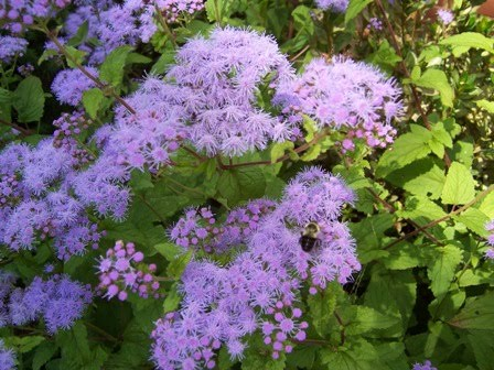 ageratum and honey bee
