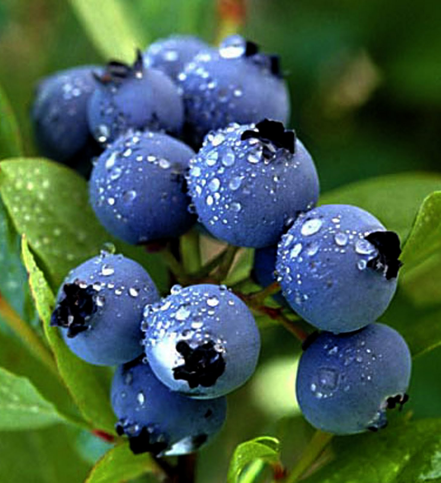 Blueberry Fruit Plant Preview: July 20...