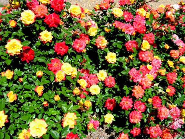 Multi Colored Rose Bushes