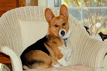 Carlton, our handsome Pembroke Welsh Corgi