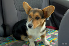 Cutter, our newest Corgi