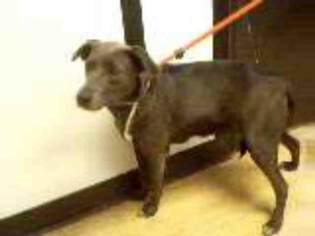 lab%2Bmix%2Bat%2Bsalinas%2Bpregnant I am described as a female, gray and white Labrador Retriever and Terrier