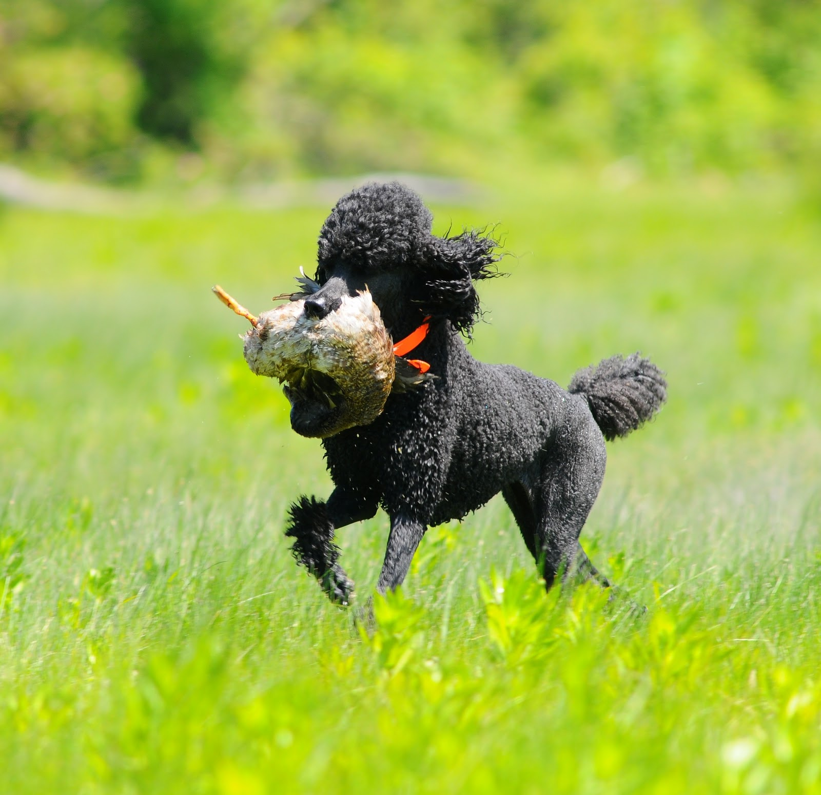 What is poodle test