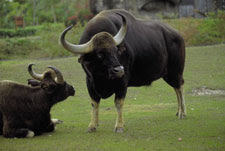 walking of south asian ox/musk ox/ox like animal pictures