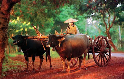 Ox pictures/Ox carts/Ox wagon/Ox wheelers video pics