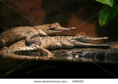 Crocodiles mating pictures
