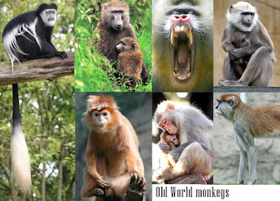 images of monkeys and apes pictures/photos collection