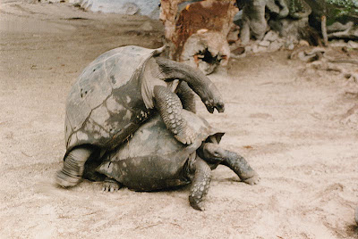 video pics of Tortoise mating /turtles mating images