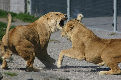 video pictures of lions fightins/lions fight pics/images