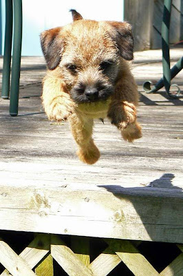 cute Border Terrier puppy wallpapers/Border Terrier dogs pictures