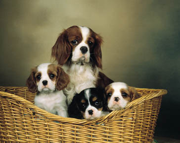 cavalier king charles spaniels dogs/pups/puppy photo gallery