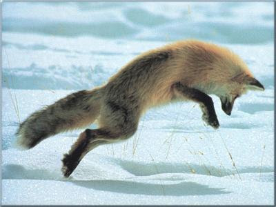 foxes jumping video pictures<br />