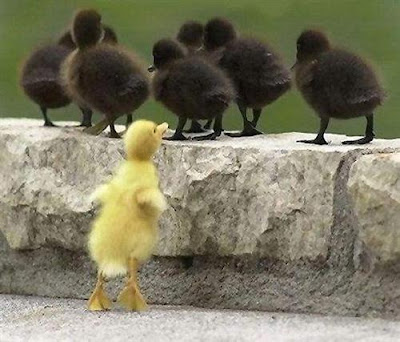 black and yellow ducklings in a row photos