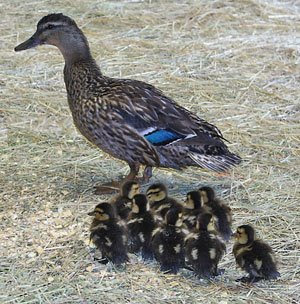 photographs of ducklings following mother