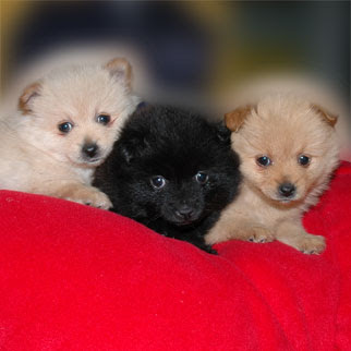 ... Animals Wallpapers - Photos: pomeranian poodles mix puppies pictures