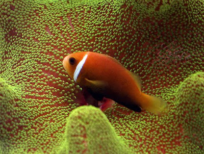 Clown fish & sea anemone photo gallery