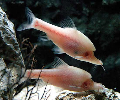 cute longfish video pictures