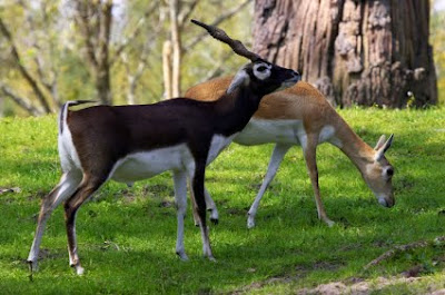 Youtube of Pair of black buck deer images collection