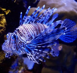 Blue lionfish facts photo gallery