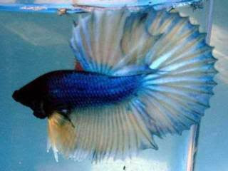 Beautiful blue fring tail fish youtubes