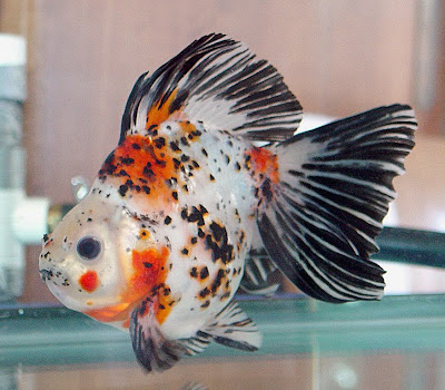 colorful black red white pregnant goldfish photos