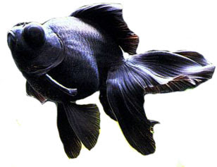Moor black Goldfish images collection