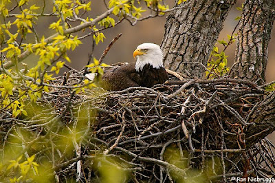 cute eagle nest in the tree wallpapers