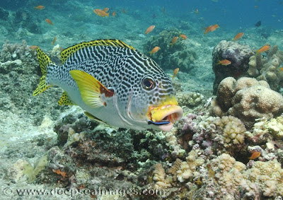 Diagonal-Banded Sweetlips photos gallery in ocean/sea