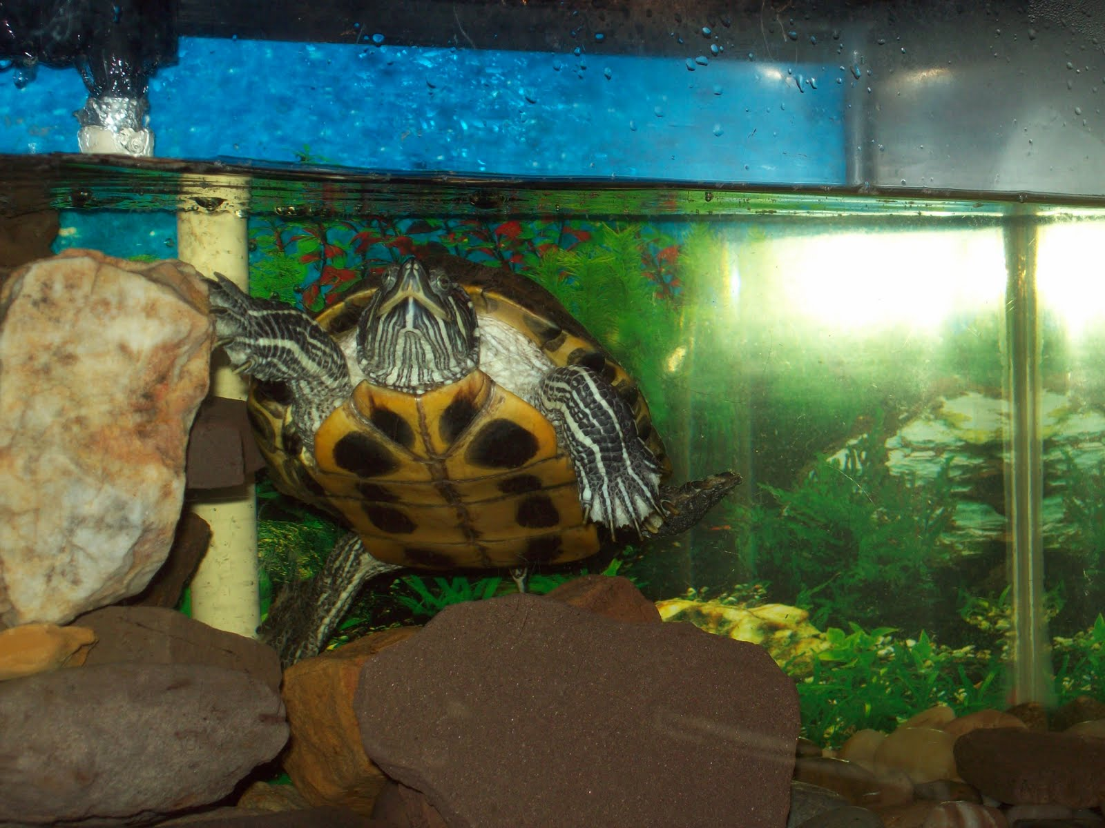 Pet Turtle Tank Turtle in a tank & sipping ice
