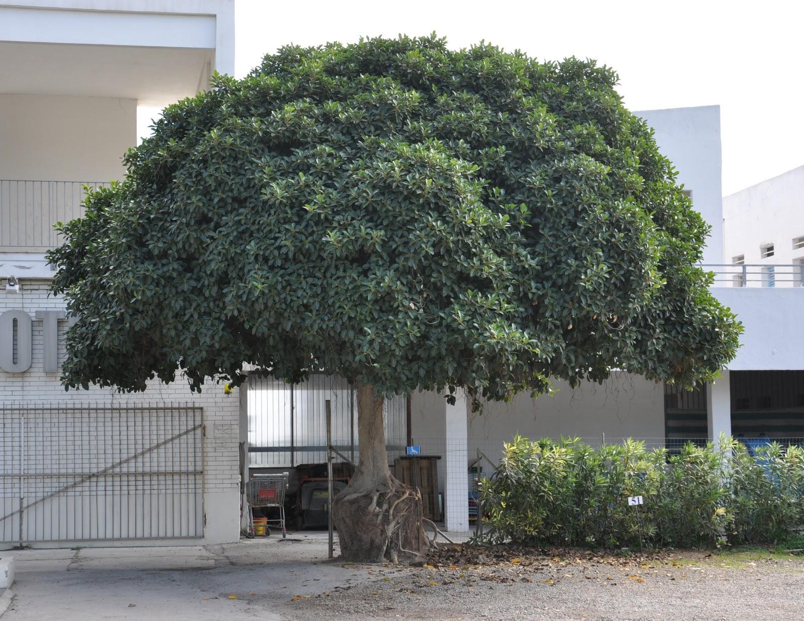 Cagliari in verde il popolo dei ficus - Prezzi alberi da giardino ...