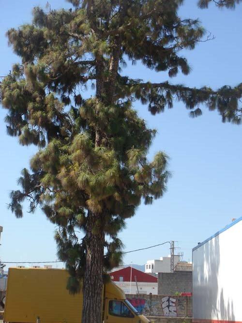 Pi canari (Pinus canariensis) Gandia