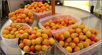 Apricot harvest 2007