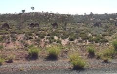 wild camels near Uluru
