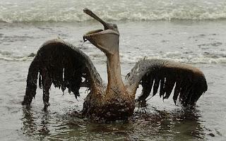 pelicano vertido golfo mexico